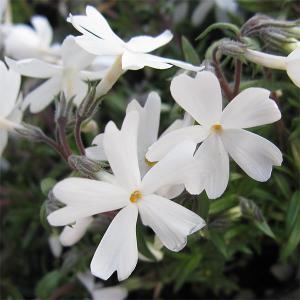 草花の苗/芝桜(シバザクラ):モンブラン(白花)4株セット