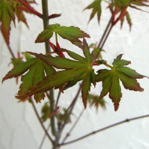 花木 庭木の苗/モミジ(カエデ):イロハモミジ3.5号ポット...
