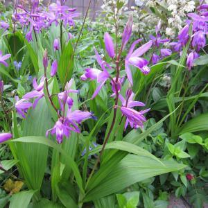 シラン(紫蘭)は日本原産のランの仲間です。寒さ暑さに比較的強くて育てやすく、上品で美しい多年草で、鉢...