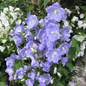 草花の苗/カンパニュラ:パーシフォリア ブルー3号ポット2株セット