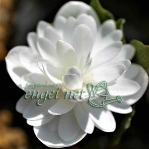 山野草の苗/カナダケシ:八重咲き3.5号ポット