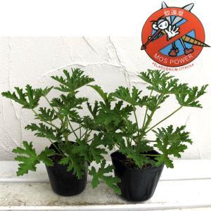 草花の苗/蚊連草(蚊よけ植物かれんそう)3号ポット2株セット