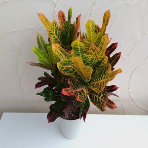 観葉植物/クロトン:エクセレント6号鉢植え|engei