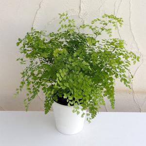 観葉植物/アジアンタム:フラグランス5号鉢植え|engei