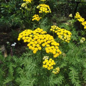 ★見栄えが悪くまた、小さい苗となります。★キク科の耐寒性多年草。ヨモギギクとも呼ばれます。黄色のボタ...