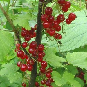 果樹の苗/カシス:赤フサスグリ(レッドカーラント)4〜5号ポット|engei
