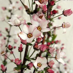 花木 庭木の苗/ユキヤナギ(雪柳):ピンク4.5号ポット12株セット