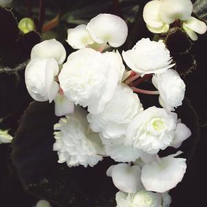 草花の苗/ベゴニア:ダブレットホワイト3号ポット|engei