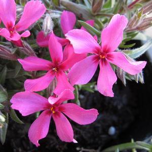 草花の苗/芝桜(シバザクラ):スカーレットフレーム12株セット