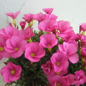 草花の苗/オキザリス:桃の輝き3.5号ポット2株セット