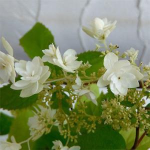 人気の高いアナベルの八重咲き品種です。花はアナベルのように手まり状ではなくガクアジサイ風の形となりま...