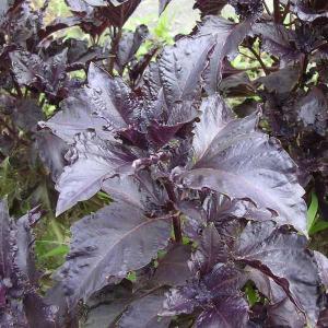 赤紫色の葉に、若干の縮みがあり、葉の縁がぎざぎざと切れ込んでいるバジル。花はピンク色です。葉を酢につ...