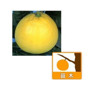 ★葉が少ない状態となっています★ザボンの仲間で高級果実として熊本県八代市の名産品となっています。もと...