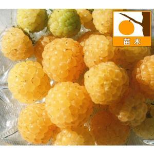 果樹の苗/木いちご(キイチゴ):ラズベリー ワインダーイエロー3.5号ポット|engei
