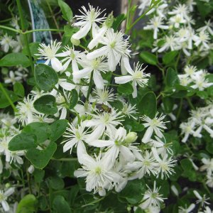 クレマチス:仙人草(せんにんそう)5号鉢植え(原種系)|engei