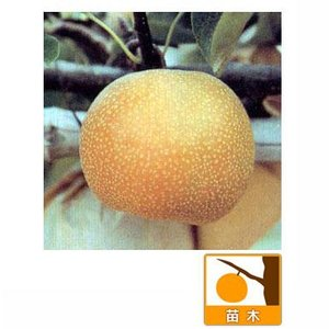 果樹の苗/梨2種セット:豊水と幸水接木1年苗4〜5号ポット
