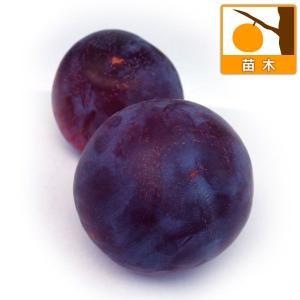 果樹の苗/スモモ(プラム):貴陽(キヨウ)4〜5号ポット|engei