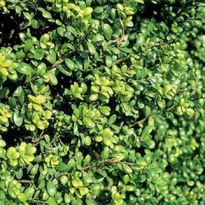 花木 庭木の苗/ツゲ:マメツゲ 5号ポット10株セット