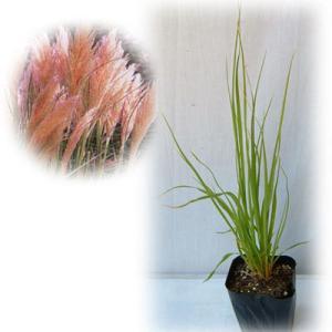 草花の苗/パンパスグラス:ピンクフェザー3号ポット