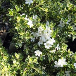 花木 庭木の苗/ハクチョウゲ(白丁花):斑入り5号ポット