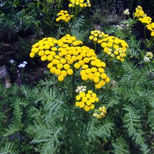 ★見栄えが悪くまた、小さい苗となります。★虫除けとしてよく利用され、ハエよけとしての効果は抜群で、建...