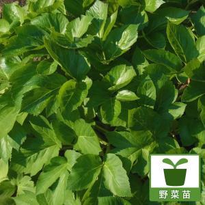 野菜の苗/アシタバ(明日葉)3号ポット4株セット|engei