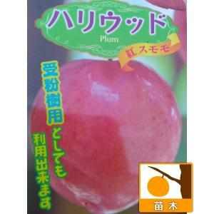 果樹の苗/スモモ(プラム):ハリウッド4〜5号ポット...