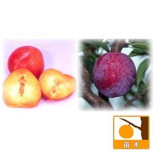 果樹の苗/スモモ(プラム)2種受粉樹セット:サンタローザと太陽|engei