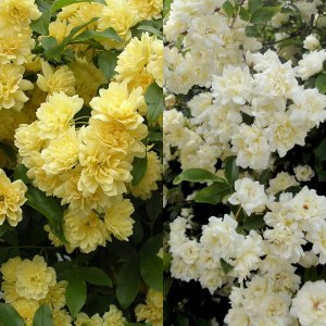 バラの苗/モッコウバラ:黄花・白花八重3〜3.5号ポット2株セット|engei