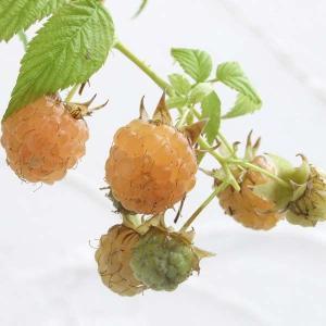果樹の苗/木いちご(キイチゴ):ラズベリー ファールゴールド4〜5号ポット|engei