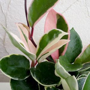観葉植物/ホヤ カルノーサ:リップカラー3号ポット苗|engei