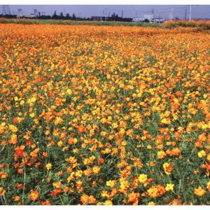 キバナコスモス タネ 6〜8月まき 草丈〜90cm 景観形成作物:黄花コスモス500g入り