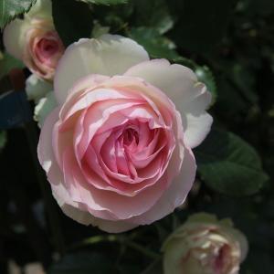 バラの苗/つるバラ:ピエール・ド・ロンサール新苗|engei