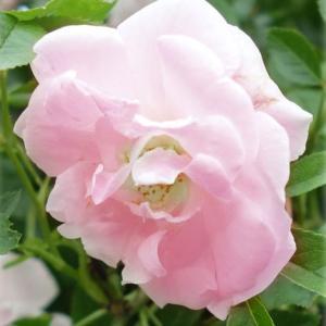 つるが伸びた状態でお届けする「長尺もの」です。つるバラは伸びたつるの途中から花芽が出ますので、来春か...