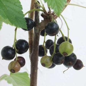 果樹の苗/カシス:黒フサスグリ(ブラックカーラント)4〜5号ポット|engei