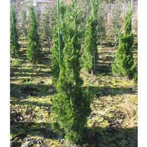 花木 庭木の苗/カイヅカイブキ7号ポット樹高約80cm 送料無料|engei