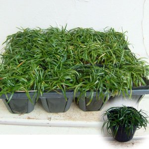 草花の苗/リュウノヒゲ:玉竜(タマリュウ) 2.5〜3号ポット12株セット