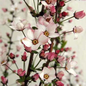 花木 庭木の苗/ユキヤナギ(雪柳):ピンク4.5号ポット5株セット