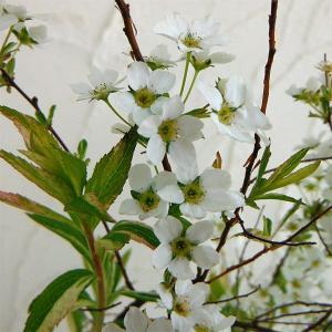 花木 庭木の苗/ユキヤナギ(雪柳):斑入ユキヤナギ4.5号ポット 5株セット
