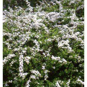 花木 庭木の苗/ユキヤナギ(雪柳)4.5号ポット 5株セット