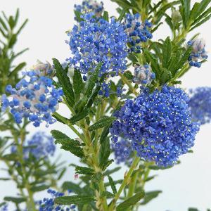 セアノサス(ケアノサス)はカリフォルニアライラックという名前で人気の花です。小さな花が集まって、5c...