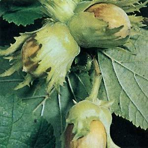 ヘーゼルナッツはカバノキ科の落葉低木。和名は西洋ハシバミです。ナッツとして市販されているものは収穫し...