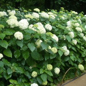 お得なまとめ植え5株セットです。直立した繊細な茎に大きな手毬状になる真っ白な花が美しい注目品種。一つ...