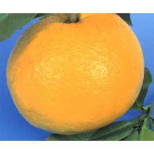 土佐文旦(トサブンタン)はザボンまたはボンタンとも呼ばれ、柑橘類の中では花も実も大きく、香りのよい柑...