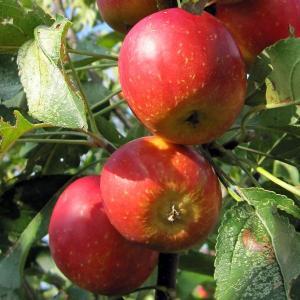 果樹の苗/リンゴ:アルプス乙女4〜5号ポット...