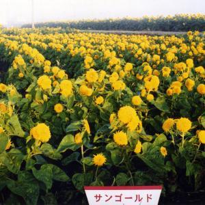 タネ 景観形成作物:ヒマワリ・サンゴールドわい性 100g