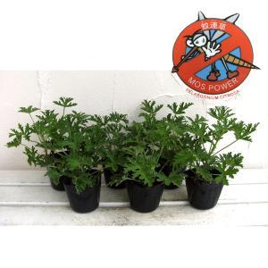 ハーブの苗/蚊連草(蚊よけ植物かれんそう)3号ポット6株セット
