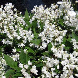 ウノハナ(卯の花)とも呼ばれるウツギは、新緑の頃に野山を白く染める日本原産の低木落葉樹です。晩春に純...
