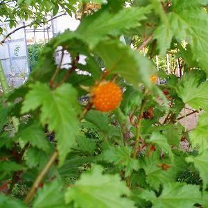 別名キイチゴとも呼ばれる品種で、主に本州山野に自生します。葉がモミジのように切れ込みが入り、春にやや...