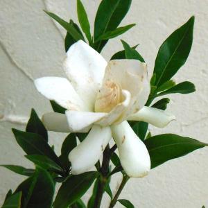 花木 庭木の苗/クチナシ:コクチナシ5号ポット
